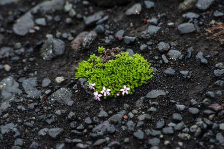 lava field: Flower in lava field, Iceland