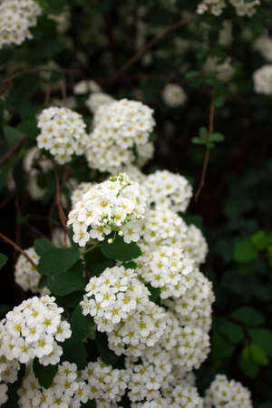 Branches of bushes of blossoming white spiraea in the park. Stock Photo