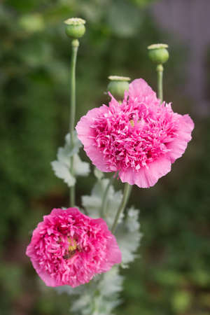 Flowers of unusual double pink poppies in the garden, bees and bumblebees gathering non-star. Selective focus. Фото со стока