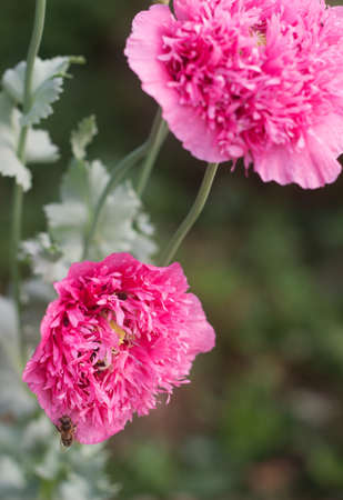 Flowers of unusual double pink poppies in the garden bees and flowers of unusual double pink poppies in the garden bees and bumblebees gathering non mightylinksfo