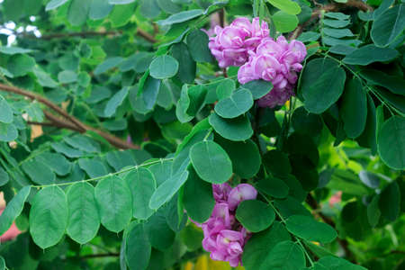 Branches of a flowering robinia tree with lilac flowers.