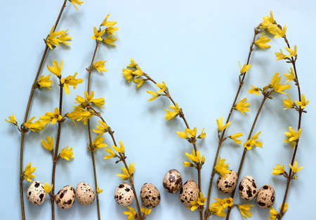 Spring composition of forsythia and quail eggs on a blue background. Selective focus.