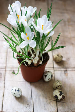 Spring or Easter composition of crocuses and quail eggs. Rustic style, selective focus.
