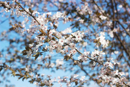Cherry plum branches with white flowers and young leaves, spring concept. Stock Photo