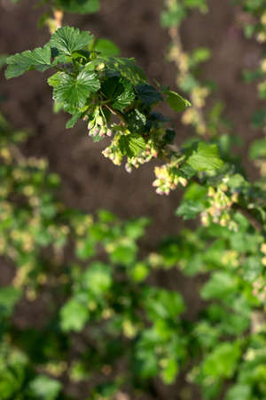 Flowering black currant bush on a sunny day.