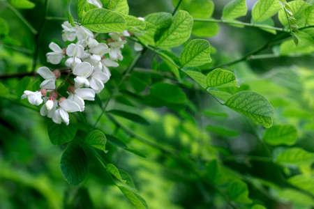Black Locust, False Acacia or Robinia pseudoacacia blooming. Selective focus. Reklamní fotografie