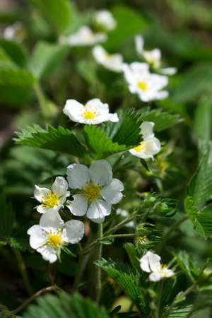 Blooming wild strawberries in a forest glade.