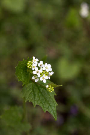 Garlic mustard blooming in a forest glade lit by the sun. Selective focus.