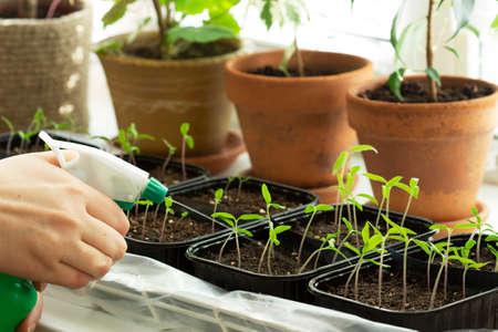 Home-grown tomato seedlings. The woman is watering the seedlings.