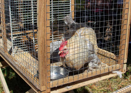 Chickens and a rooster with silvery feathers in a cage. Agricultural Exhibition in Moldova.