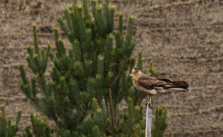 Bird of prey in the Andes mountain range