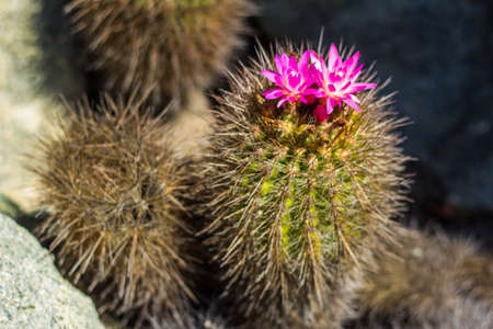 Cactus with pink flower Imagens