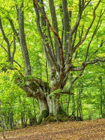 Old beech tree in mountain forest. Fantastic tree grows on the slope of Chatyrdag mountain in Crimea.
