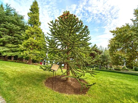 Young araucaria tree in the park. Small monkey puzzle tree lives in the park of Partenit, Crimea. Green grass and blue sky on the background. Stockfoto - 134043215