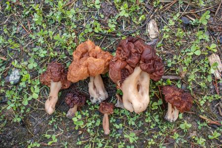 봄 숲 버섯 -Gyromitra esculenta입니다. 첫 번째 봄 버섯입니다. 스톡 콘텐츠