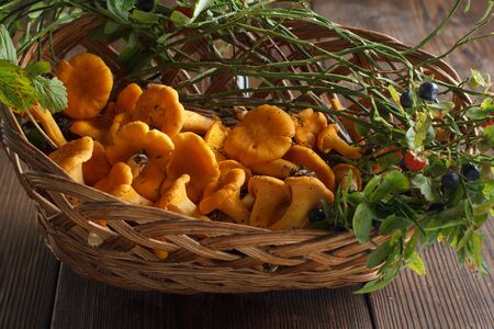 Collecting chanterelle mushroom in wooden background. Collecting mushrooms and preparing food. Chanterelle in the basket. Stock Photo