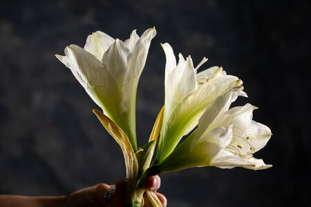 Closeup of white amaryllis flower on black background with copy space. Three big blossoms. Close-up.