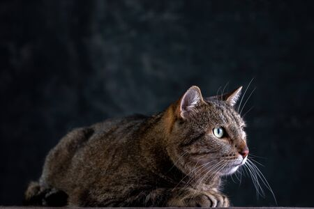 Portrait of shorthair grey cat with big wide face on Isolated Black background. Side view.