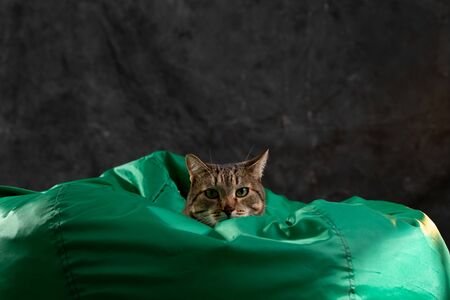 Cat on a green background. Gray tabby cat. Cat food.