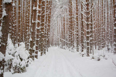 Winter forest concept. Trees in a snowy forest. 版權商用圖片