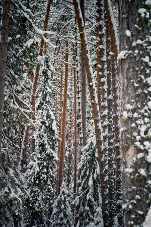 Winter forest concept. Trees in a snowy forest.