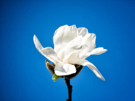 nobleness: Blossom of white Rhododendron over the blue sky Stock Photo