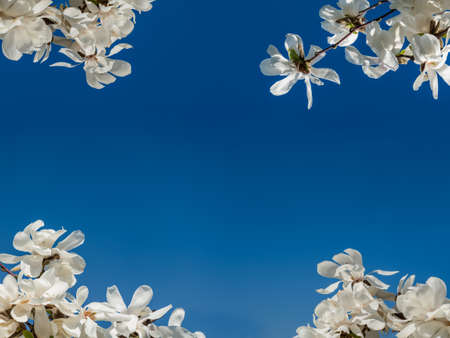 nobleness: White Rhododendrons over the blue sky making border of the image Stock Photo