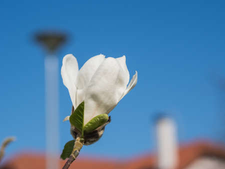 nobleness: Blossom of white Rhododentrons over the blue sky