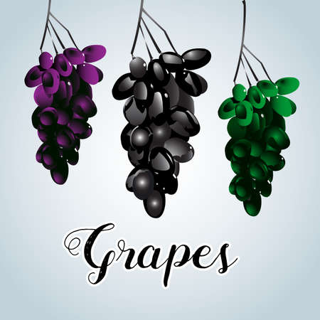Three varicoloured clusters of vine. Isolated vector illustration