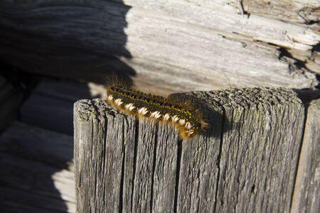 Caterpillar butterfly Euthrix potatoria on a wooden fence