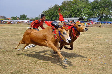 Traditional Bull Race in Madura, Indonesia