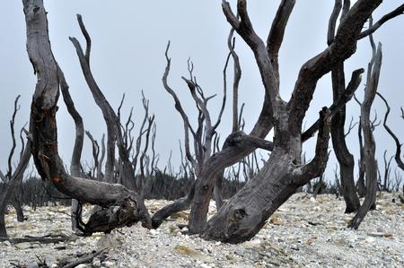 arboles secos: Árboles muertos en las laderas del volcán