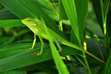 Chameleon in green leaves