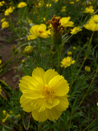 Yellow cosmos flower with green leaves in garden stock photo stock photo yellow cosmos flower with green leaves in garden mightylinksfo