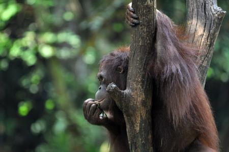 Orangutan in wildlile