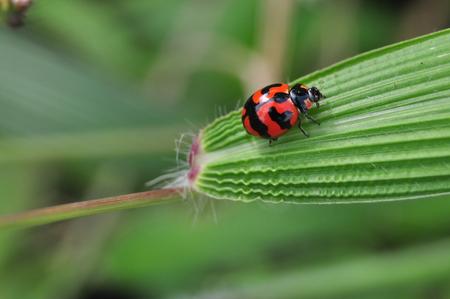 Ladybug on blade of grass Banco de Imagens