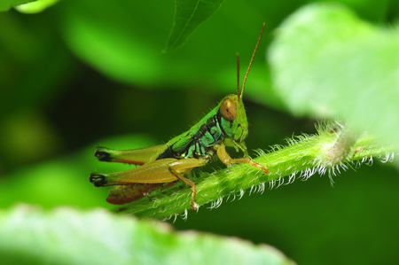Colorful Grasshopper from Java Island - Indonesia Reklamní fotografie