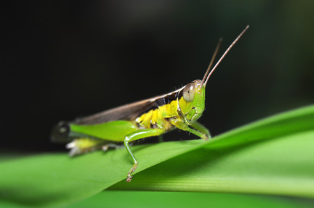 Colorful Grasshopper from Java Island - Indonesia