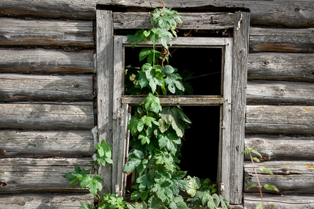 overgrown: old window overgrown with hops