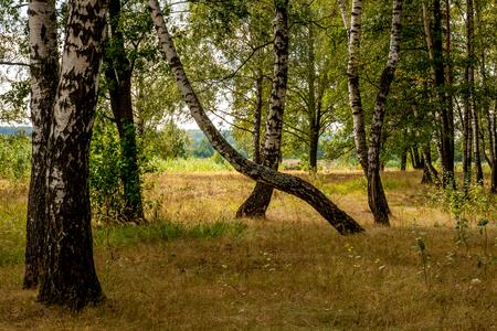birches: dancing birches Stock Photo
