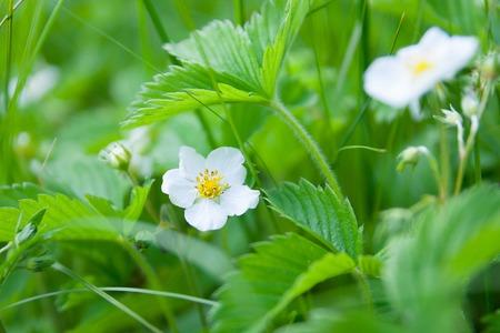 tiefe: Wilde Erdbeeren Pflanze blüht (flache Depth of Field)