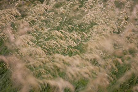 tiefe: Wilde Getreidepflanzen (seichte Tiefe des Feldes)