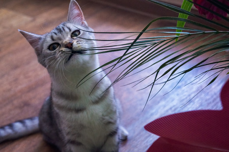 British kitty eats a bouquet Imagens