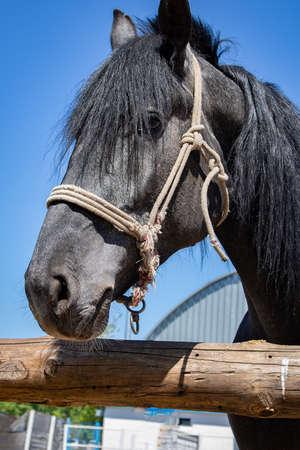 Black and white portrait of arabian horse