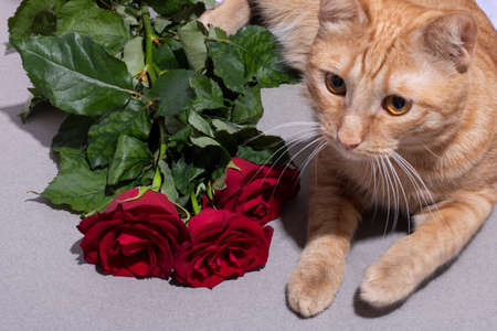 Red kitten near red roses, horizontal composition Valentines day and woman day. 8 march