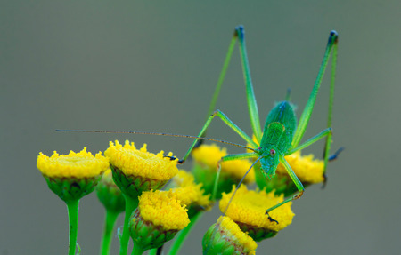 Big green phaneroptera. He sits on the yellow flowers of tansy Stock Photo