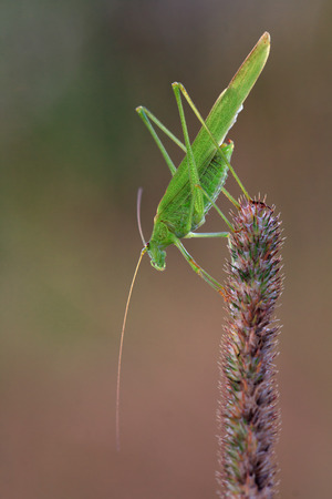Green phaneroptera sits on a grass spikelet. He looks down. Long mustache. Blurring background.