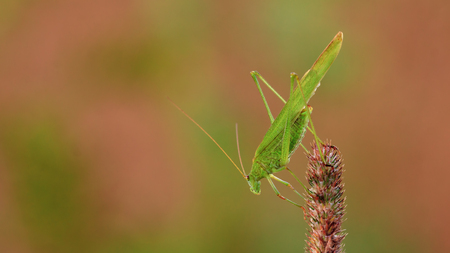 falcata: Insect similar to grasshopper or locust. Adult phaneroptera sits on a a blade of grass. Directed downwards. Blurred background with green and red spots.