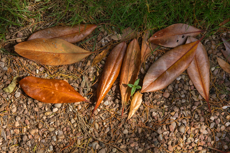 Fallen leaves of magnolia. Brown color. Top view.