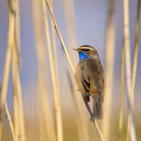 Bluethroat warbler in the reeds Stock Photo